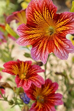 Salpiglossis Sinuata photographed during a recent trip to Filoli.
