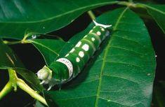 Ulysses Moth larva