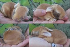 Harlequin / New Zealand Red bunny - 6 days old New Zealand Rabbits, Animals For Kids, Fur Babies, Bunny, Pets, Cute Bunny, Rabbit, Rabbits, Animals And Pets