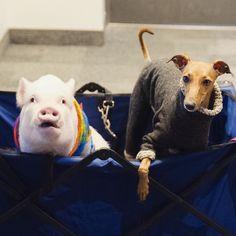 169 Best Dogclothes Images Dog Clothing Italian Greyhound Whippets