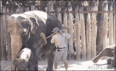 Elephant grooming time.