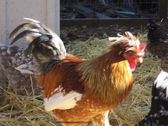 Check out this rare breed of chickens —the Swedish Flower Hen. These birds are centuries old, with genetics from a mixture of chickens that have been lost to antiquity. http://www.backyardpoultrymag.com/swedish-flower-hensunique-rare-landrace-breed/