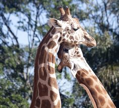 Just some giraffes necking. See what I did there? :D