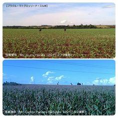 冬とうもろこしが順調に生長中(ブラジル)  http://subaru25.official.jp/overseas-food-supply-and-demand-information-314/  #ブラジル #冬とうもろこし