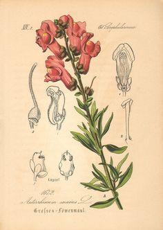 1884 Common Snapdragon Antirrhinum majus by CabinetOfTreasures