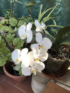 Orquídies del meu balcó urbà