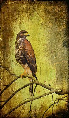 A Harris Hawk captured in Green Valley, Arizona USA. Texture courtesy of Clive Sax. Harris Hawk, Hawk Tattoo, Arizona Usa, Green Valley, Tatoos, Pink Ribbons, Landscape, Wall Art, Artwork