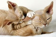 Devon Rex... Sweetest things! Will have one.