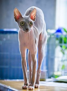 The Sphynx cat gets a bad rap. They are hairless, full of wrinkles, kind of alien looking but are they ugly? More importantly, are their kittens ugly?