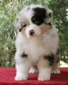 Australian Shepherd dog art portraits, photographs, information and just plain fun Aussie Puppies, Cute Puppies, Cute Dogs, Dogs And Puppies, Doggies, Mastiff Puppies, Havanese Puppies, Funny Dogs, Cute Baby Animals