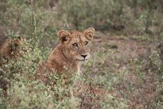 Safari - leonessa