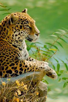 Luipaarden verdienen ook een mooi en rustig leven. Wil jij SPOTS helpen om de luipaard te beschermen? Bezoek onze website www.stichtingspots.nl en zie hoe jij een steentje kunt bijdragen.