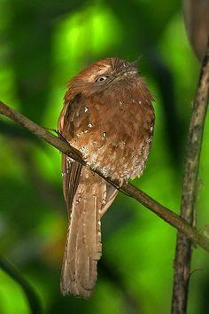 Ceylon Frogmouth (Batrachostomus moniliger) Rainforest Birds, Bird Gif, Bird Pictures, Flora And Fauna, Bird Feathers, Sri Lanka, Insects, Cute Animals, Creatures