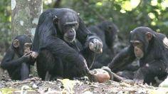 PRIMATES SUPERIORES. Los primates superiores fueron los primeros monos, aparecieron hace 40 millones de años. Poseen uñas planas, cara corta y con muy poco pelo, y tendían a parecerse a los humanos. Aumentó el volumen de su cuerpo.Dependían más de la visión que del olfato para cazar, por lo que sus ojos se desarrollaron.