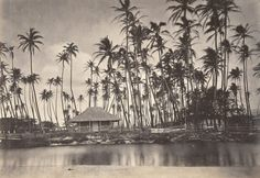 3. Kamehameha V's summer residence at Helumoa  - also known as The Royal Grove - as photographed in the mid-1800s. Hawaii Pictures, Old Pictures, Old Photos, Vintage Photos, Then And Now Photos, Hawaii Homes, Honolulu Hawaii, Aloha Hawaii, Hawaii Life