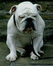 Basic information on the English Bulldog breed!