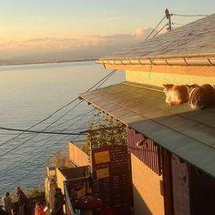 【sweet.beach.0425】さんのInstagramをピンしています。 《sunsetを眺めるネコ🐱 猫も夕日好きなんだねー #ネコ #猫 #夕日ネコ #江ノ島ねこ #海 #cat #sea #湘南 #japan #japanese #syounan #enoshima #cafe #カフェ》