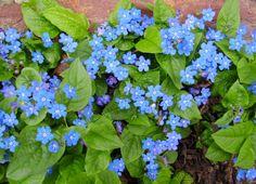 OMPHALODES verna - Kærminde, farve: blå, lysforhold: sol/halvskygge, højde. 15 cm, blomstring: maj, god til bunddække.