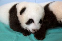 Put a little #panda in your Monday morning. #ZAPandaCubs