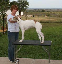Silken Windhound male named Kumbaya Believe in Magic - cal… | Flickr