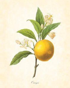 Antique French Botanical Orange Redoute Botanical by BelleBotanica, $10.00