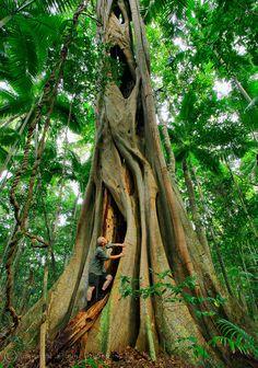 Strangler Fig at Cooloola, Queensland, Australia by Dennis Harding Photography | Queensland - Australia