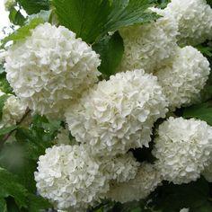 Snowball (Viburnum opulus) 'Roseum'