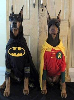 I didn't know Ace the Bathound had a sidekick. Chien Halloween, Dog Halloween, Happy Halloween, Halloween 2015, Doberman Dogs, Doberman Pinscher, Dobermans, Funny Dogs, Funny Animals