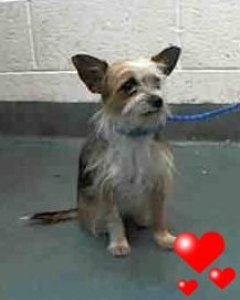 SAFE --- CHIQI (A1675631) I am a female tan and white Yorkshire Terrier mix. The shelter staff think I am about 2 years old. I was found as a stray and I may be available for adoption on 02/01/2015. — Miami Dade County Animal Services. https://www.facebook.com/urgentdogsofmiami/photos/pb.191859757515102.-2207520000.1422607538./917661924934878/?type=3&theater
