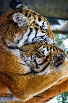 tigers cuddling <3