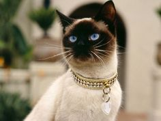 I got: Siamese! What type of cat are you? Text: You are a Siamese Cat! You have a unique beauty and you are very intelligent. You have very close friends that you treasure and you can be a bit of a mischief maker! You can be rather talkative but very sweet.