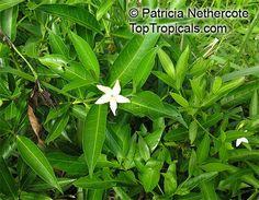 Rothmannia capensis, Wild gardenia, Common Rothmannia  Wild Gardenia