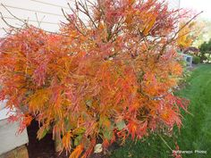 Japanese Maple for Fall Color.