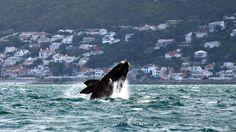 Comience la semana con esta sorprendente fotografía de una ballena en Sudáfrica. Visite nuestra página y sea parte de nuestra conversación: http://www.namnewsnetwork.org/v3/spanish/index.php