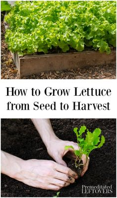Container Gardening Tips on how to grow lettuce including how to plant, care for, and harvest lettuce. Tips for planting lettuce in containers and starting from seeds are also included. Growing Lettuce, Container Gardening, Organic Vegetables, Growing Vegetables, Organic Plants, How To Harvest Lettuce, How To Plant Lettuce, Vegetable Garden, Farmhouse