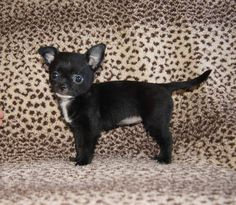 CHIHUAHUA puppies sold by Wartenaschihuahuas.com but we have others. Visit our available pups page