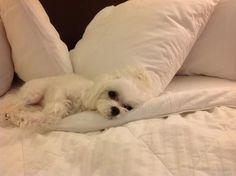 Sleepy Maltese