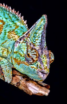 Chameleon.  WOW...the pattern and colors don't look real!  Amazing nature....