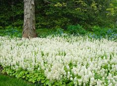 This is an incredible display of Tiarella cordifolia! The grooved bark of the Shagbark hickory tree (Carya ovata) is a beautiful foil for this sea of white.