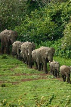 Save the elephants. Leading the way 💖 Photo Elephant, Elephant Love, Elephant Family, Elephant Parade, Elephant Walk, Animals And Pets, Baby Animals, Cute Animals, Baby Hippo
