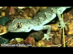 Animal Jam Gecko Song: This is a song about geckos that is so stupid that it made me laugh. I have a gecko, so I can relate to this song.Ilove the song GECKO GECKO GECKO Jam Songs, Animal Jam, I Can Relate, Hunger Games, I Laughed, Your Pet, Funny Animals, Lol, Leopard Geckos