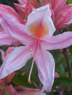 Rhododendron <3
