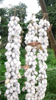Sericulture in India - cocoons of silk worms hanging on trees in a forest