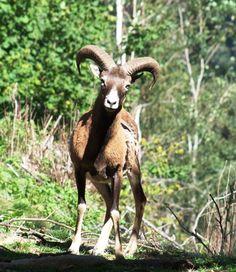 Saga, Park Restaurant, Sissi, Sheep, Goats, Animals, Game Reserve, Mountains, Nature