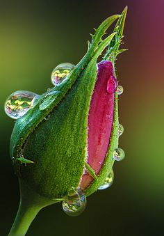 Pink and Green Rose Bud with Dew Drops / Bokeh Amazing Flowers, Beautiful Roses, Beautiful Flowers, Simply Beautiful, Dew Drops, Rain Drops, Foto Macro, Fotografia Macro, Morning Dew