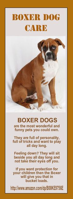 Boxer dogs are the most wonderful and funny pets you could own. They are full of personality, full of tricks and want to play all day long. Feeling down? They will sit beside you all day long and not take their eyes off you. If you want protection for your children, then the boxer will give you that in bucket loads.