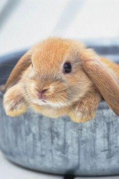 bunnies pics | Little Bunny Rabbit iPhone Wallpaper