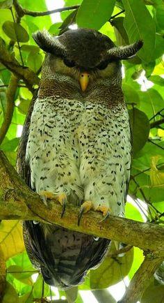 Barred Eagle Owl, Asia