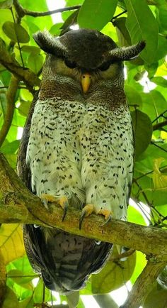 Barred Eagle Owl, Asia