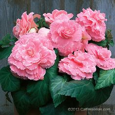 AmeriHybrid Pink Picotee Lace Begonia Bulbs ship from February - August. Free shipping with orders over $100. Pre-Order Now!